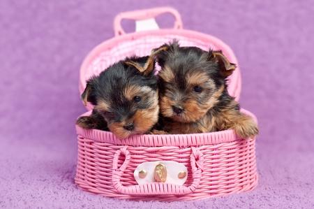 Két aranyos yorkshire terrier kiskutya egy rózsaszín kosár, lila háttér Stock fotó