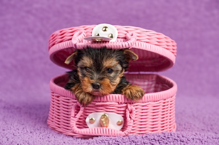 Yorkshire terrier puppy in a pink basket, on purple background