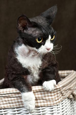 Brown Devon Rex macska egy kosár, barna, háttér
