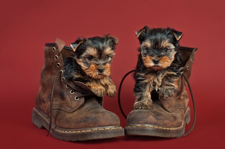 Two Yorkshire terrier puppies in work boots, on red background photo