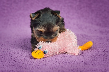 Yorkshire terrier puppy with a toy, on purple background photo