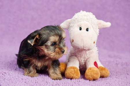 cynology: Yorkshire terrier puppy with a sheep toy, on purple background Stock Photo
