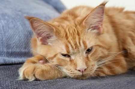 Maine Coon macska feküdt egy kanapén