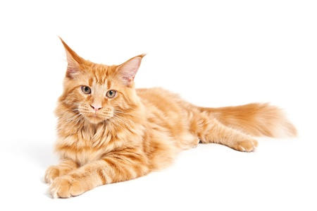 Maine Coon cat lying on white background photo