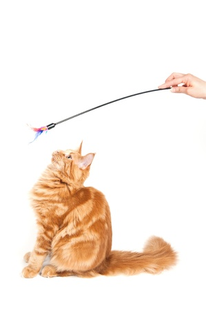 head toy: Maine Coon cat looking at a feather toy Stock Photo
