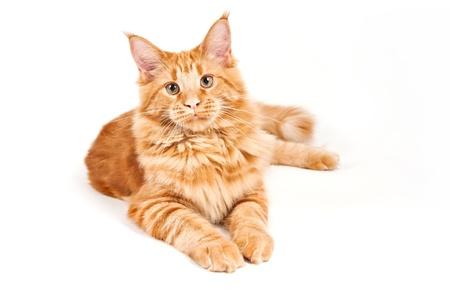 maine coon: Maine Coon Katze auf wei�em Hintergrund Lizenzfreie Bilder