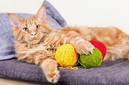 Fő Coon macska fekszik a golyó gyapjúból