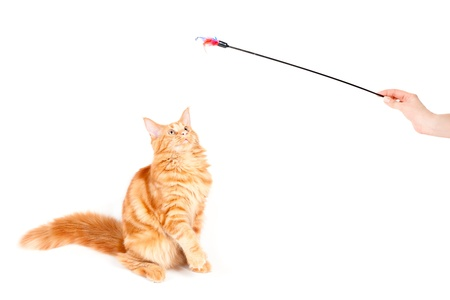 Red classic tabby Maine Coon cat looking at a feather toy Stock Photo - 12442032
