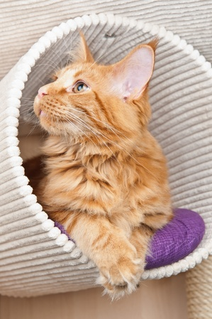 Maine Coon cat lying in a scratching post
