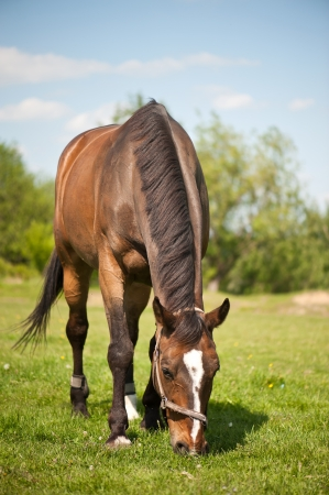 Horse grazing in the pasture Stock Photo