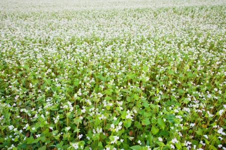 Field of buckwheat with white flowers photo