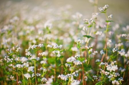 Buckwheat flowers closeup photo