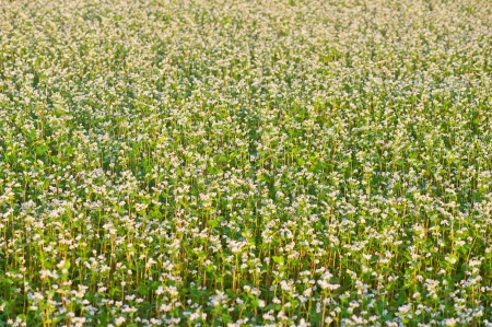 Buckwheat with white flowers field photo