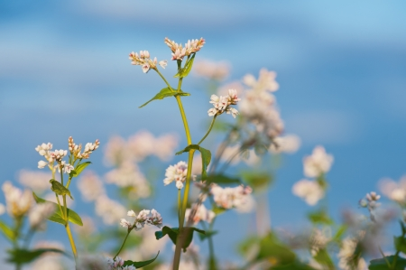 Buckwheat flower closeup Stock Photo - 14577331