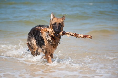 6-month-old German Shephard puppy playing in the sea