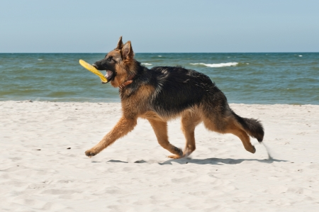 6-month-old German Shephard puppy playing on the beach photo