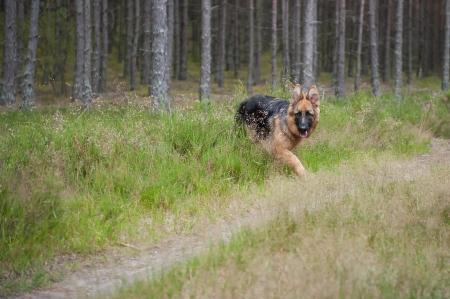 shephard: 6-mese-vecchio Shephard tedesco cucciolo