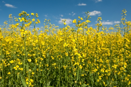 Oilseed rape canola with blue sky