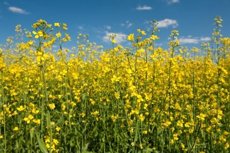 Oilseed rape canola with blue sky
