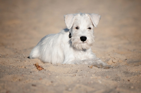 12-week-old puppy in the sand