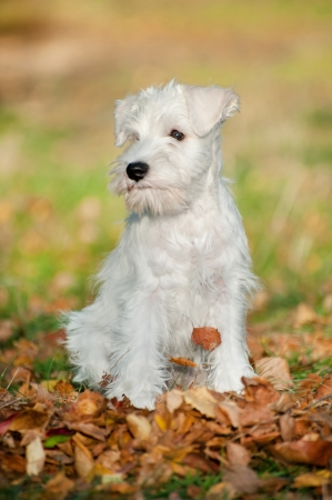 12-week-old puppy in the autumn leaves