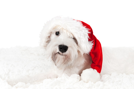 White miniature schnauzer in Santa Stock Photo