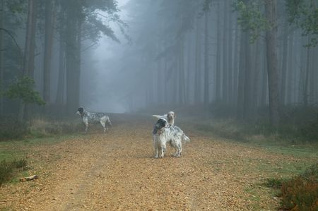 berkshire: Dogs in fogy forest - Bramshill Forest near Crowthorne in Berkshire which is favorite place for cyclists and dogs walkies Stock Photo