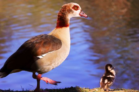 gosling: Egyptian Goose with gosling standing on the shore of their river