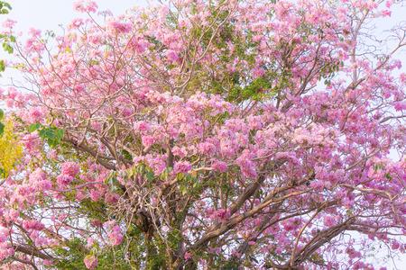 rosea: Pink flowers Tabebuia rosea blossom