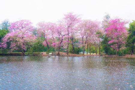 rosea: Pink flowers Tabebuia rosea blossom in Vachirabenjatas Park(Rot Fai Park)in Bangkok of, Thailand