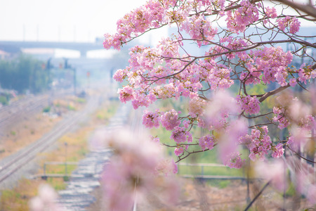 lat: Tabebuia blossom in Lat Krabang Station