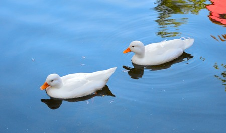 Twins White Ducks on water