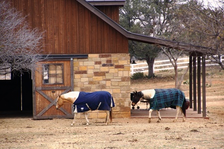 Covered horses walking into barn
