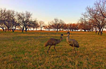 Emus together in the field