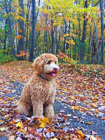 Labradoodle in the fall leaves Banco de Imagens