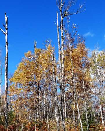 Tall birch trees in the blue sky Stock Photo