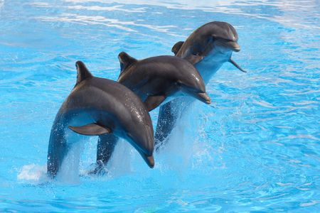 bottlenose: Leaping Dolphins