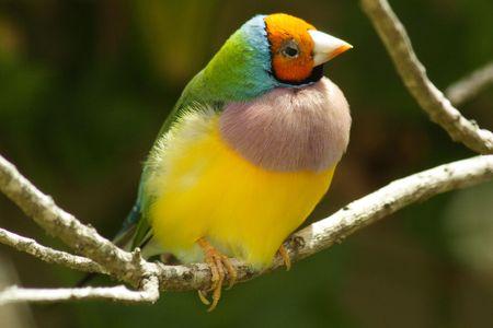 headed: Gouldian Orange Headed Finch