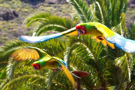 Flying Macaws Stock Photo