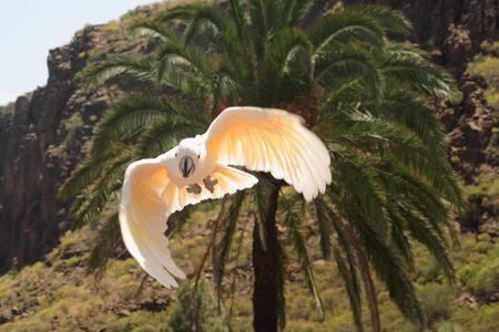 cockatoos: Flying Cacatua rosa
