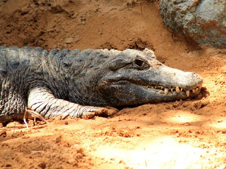 cayman: Cayman Crocodile