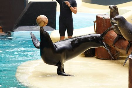balance ball: Performing Sealion Stock Photo