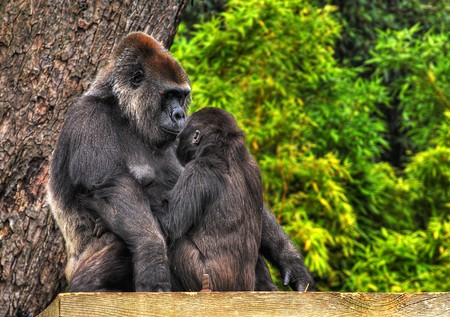 An HDR image of a mother and baby gorilla looking tenderly into eack others eyes photo