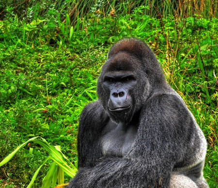 high dynamic range: A HDR close up image of a male silverback gorilla in a sitting pose