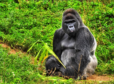 simian: An HDR image of a male silver back gorilla sitting holding a piece of vegetation