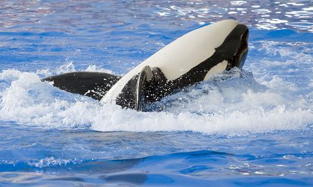 A killer whale, Orcinus Orca, rolling on its back photo
