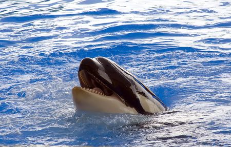 A killer whale, Orcinus Orca, rolling on its back Stock Photo - 5695812