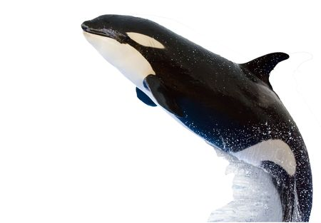 A killer whale, Orcinus Orca, leaping from the water, isolated on white photo