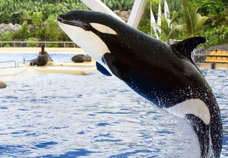 PUERTO DE LA CRUZ, TENERIFE - APRIL 15: Dolphin show in the Loro Parque, which is now Tenerife's second largest attraction with europe's biggest dolphin pool. April 15 2006 Puerto De La Cruz, Tenerife  Stock Photo - 7007056