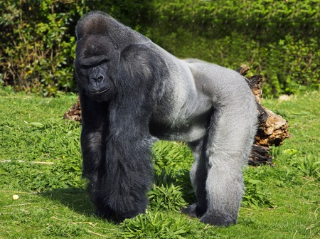gorilla: A large male silver back western lowland gorilla standing in a powerful position surveying his teratory